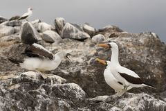 Nazca Booby Chick Begging for Food from its Parents - Galapagos stock photo