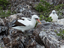 Nazca booby with chick Royalty Free Stock Photos