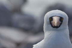 Nazca Booby Face. A close up image of a Nazca Booby Stock Images