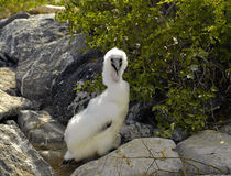 Nazca Booby, Galapagos royalty free stock images