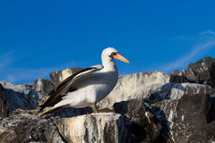 Nazca Booby Royalty Free Stock Photos