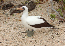 Nazca Booby, Galapagos Islands Royalty Free Stock Image