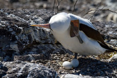 Nazca Booby Guarding her Eggs. In the Galapagos Islands royalty free stock images