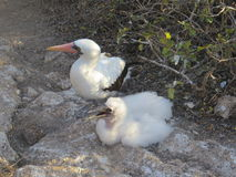 Nazca Booby Stock Photography