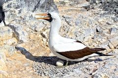 Nazca booby and its egg. Nazca booby protecting its egg in the Galapagos Royalty Free Stock Photo