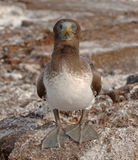Nazca Booby Juvenile, Galapagos Islands Royalty Free Stock Images