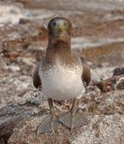 Nazca Booby Juvenile, Galapagos Islands Royalty Free Stock Images