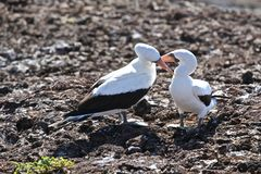 Nazca booby love in the Galapagos Royalty Free Stock Photo