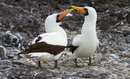 Nazca Booby Mating Call. These two nazca boobies perform their species' mating call Royalty Free Stock Photo