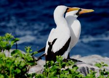 Nazca booby pair 1 royalty free stock images