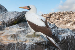Nazca booby perched on a rock Stock Photography