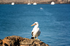 Nazca Booby on a Rock Stock Images