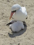 Nazca Booby Royalty Free Stock Photo