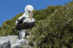 Nazca booby sitting on a rock stock photo
