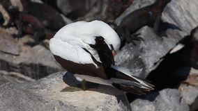 Nazca Booby, Sula granti, from the Galapagos stock footage