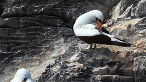 The Nazca Booby, Sula granti, from the Galapagos stock video footage