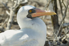Nazca booby (Sula granti) in Galapagos Royalty Free Stock Photography