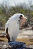 Nazca booby (Sula granti) in Galapagos Stock Photos