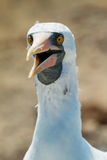 Nazca booby (Sula granti) in Galapagos Royalty Free Stock Image