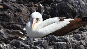 The Nazca Booby, Sula granti, from the Galapagos Islands stock video