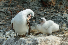 Nazca booby (Sula granti) in Galapagos Royalty Free Stock Photos