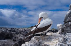 Nazca booby Sula granti royalty free stock photo
