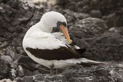 Nazca Booby preening its feathers royalty free stock images