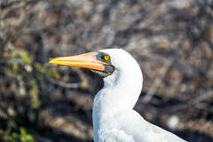 Nazca Booby View Stock Photo