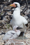 Nazca-Dummkopf mit Küken, Isla Genovesa - Galapagos Stockfotos