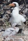 Nazca dumskalle med fågelungen, Isla Genovesa - Galapagos Arkivfoton