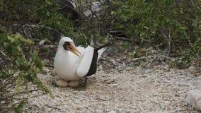 Nazca dureń na gniazdeczku z dwa jajkami przy isla genovesa w Galapagos zbiory wideo