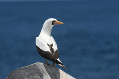Nazca (Masked) Booby. Nasca (formerly Masked) Booby in the Galapagos Islands Stock Photo