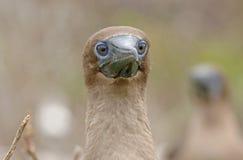 Nazcadomoor, de Eilanden van de Galapagos Stock Foto's