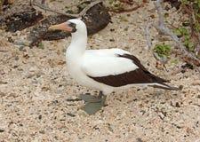 Nazcadomoor, de Eilanden van de Galapagos Royalty-vrije Stock Afbeelding