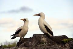 Nazcadomoor - de Eilanden van de Galapagos Stock Afbeelding