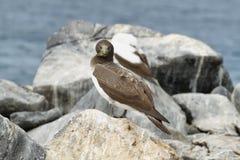 Nazcadomoor (Sula-granti) in de Galapagos Royalty-vrije Stock Fotografie