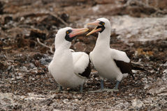 Nazcar Booby pair on Galapagos Stock Photo