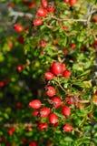 Nazionale Абруццо parco плода шиповника стоковые фото