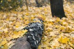 Nazwa użytkownika drewno na żółtych liściach Zdjęcia Royalty Free