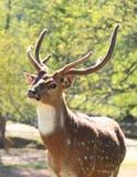 在懒惰5大农场, NC的鹿 库存照片