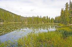 Näckrors på berg en sjö Arkivfoton