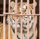 2nd august tagen tigerzoo för foto 2009 stående Royaltyfri Bild