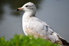 Immature Herring Seagull Sitting. At Tuscawilla Park in Ocala, Florida Stock Photography