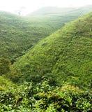 Ndoro dongker tea plantation Stock Images