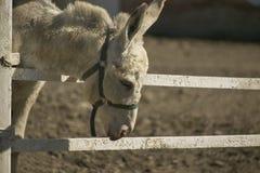 Âne dans l'élevage Image libre de droits