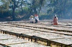Séchage des anchois Photo libre de droits