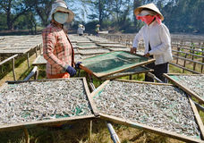 Séchage des anchois Images libres de droits