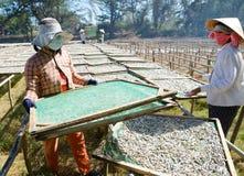 Séchage des anchois Photo stock