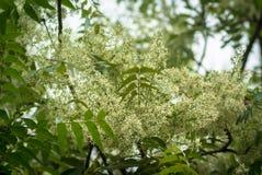 Ne-em leaves and flowers or Margosa flower Royalty Free Stock Photos