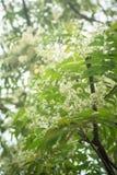Ne-em leaves and flowers or Margosa flower Stock Image